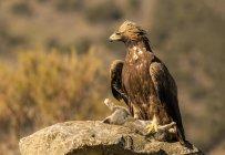Furioso águila salvaje sentada en la rama del árbol con un conejo sobre fondo borroso - foto de stock