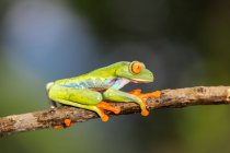 Exotic red eyed tree frog sitting on branch on blurred background — Stock Photo