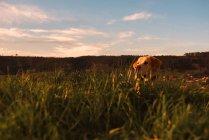 Chien domestique drôle debout sur la prairie avec herbe verte et ciel couchant — Photo de stock