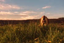 Divertente cane domestico in piedi sul prato con erba verde e cielo al tramonto — Foto stock