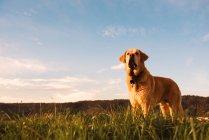 Divertente cane domestico in piedi sul prato con erba verde al tramonto — Foto stock