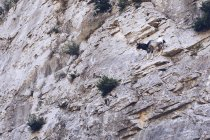 From below wild goat on rocks of high mountain with plants — Stock Photo