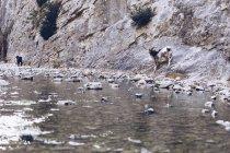 Wild goat standing on rocks near shore of mountain river — Stock Photo