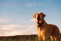Забавная домашняя собака стоит на лугу с зеленой травой на закате — стоковое фото