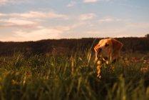 Забавная домашняя собака стоит на лугу с зеленой травой и закатом неба — стоковое фото