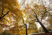 Yellow foliage of trees in autumn park — Foto stock