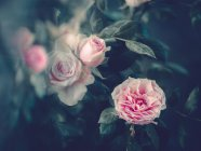 Pink roses growing in garden on blurred background — Stock Photo