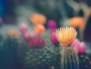 Fleurs de cactus poussant dans le jardin sur fond flou — Photo de stock