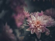 Pink flowers growing in garden on blurred background — Stock Photo