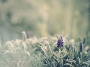 Close-up of purple flower growing in garden — Stock Photo