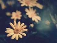 Flores amarillas creciendo en el jardín sobre fondo borroso - foto de stock