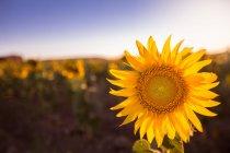 Luminoso girasole colorato alla luce del sole che cresce nel campo — Foto stock
