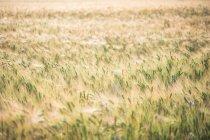 Tiembla hierba alta en el campo rural - foto de stock