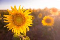 Tournesol coloré lumineux dans la lumière du soleil croissant dans le champ — Photo de stock