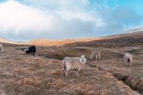 Manada de ovelhas de lã pastando em grama seca de terreno montanhoso durante o dia nublado em Ilhas Faroe. — Fotografia de Stock