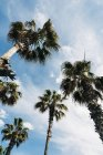 From below view of high palms with lush leaves on background of blue sky on a sunny day — Stock Photo