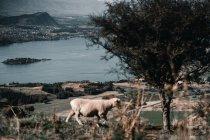 Пейзаж величественного озера в горах и овец, гуляющих по склону сельского склона холма — стоковое фото