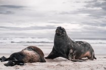 Brown adorable seals lying and enjoying sun on beach in daylight — Stock Photo