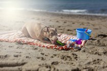 Playful dog biting toy on sandy beach in sunlight — Stock Photo