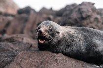 Marrone adorabile sigillo sdraiato e godersi il sole sulla roccia alla luce del giorno — Foto stock