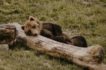 Pelziger brauner Bart lehnt auf umgestürztem Baumstamm im Feld — Stockfoto