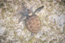 Tortuga acuática nadando en profundidad azul en agua - foto de stock
