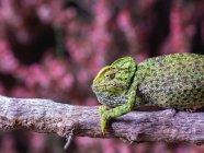Primer plano del camaleón sentado en la rama sobre fondo borroso - foto de stock