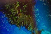 Doble exposición luz azul sobre hojas verdes de arbustos en el jardín - foto de stock
