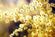 Primer plano de tiernas ramitas doradas en el día soleado - foto de stock