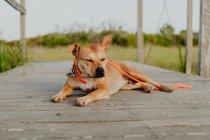 Расслабленный коричневый пес лежит на деревянной террасе — стоковое фото