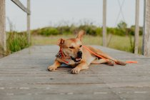 Relaxed brown dog lying on wooden terrace in nature — Stock Photo