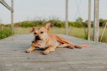 Смешная коричневая собака с поводком отдыхает на деревянной сельской террасе при дневном свете — стоковое фото