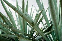 Растущие зеленые листья агавы при дневном свете — стоковое фото