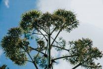 Popa verde de planta de agave sobre el cielo azul nublado - foto de stock