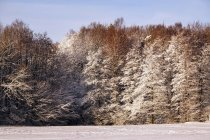 Distant woods with frosted evergreen and leafless trees beside snowfield on winter daytime — Stock Photo