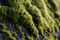 Close-up of colorful green moss plants growing on rocks in detail — Stock Photo