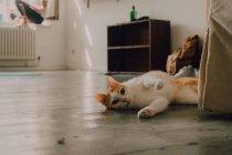 Здоровый рыжий домашний кот катается по полу в комнате, неузнаваемый человек на подоконнике — стоковое фото