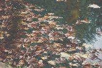 Feuilles d'érable orange flottant à la surface de l'eau calme de l'étang dans le parc d'automne — Photo de stock