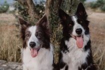 Alert Border Collie dogs with raised ears and sticking out tongues sitting in countryside — Stock Photo