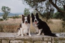 Alert patchy Border Collie dogs with raised ears and sticking out tongues sitting on brick fence in countryside — Stock Photo