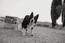 Vecchio bianco e nero Border Collie cane con le orecchie sollevate e sporgente lingua in piedi su strada grigia — Foto stock