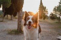 Старая коричнево-белая пограничная колли-собака с поднятыми ушами и торчащим языком на фоне заката — стоковое фото