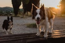Active Border Collie dogs with sticking out tongues standing in countryside in sunset backlit — Stock Photo