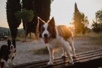 Активная пограничная колли собак с торчащими языками, стоящих в сельской местности на закате подсветкой — стоковое фото