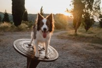Милая коричнево-белая пограничная колли-собака с поднятыми ушами и торчащим языком, стоящим на большом круглом металлическом компасе — стоковое фото