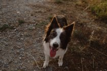 High angle of brown and white Border Collie dog with sticking out tongue on road — Stock Photo