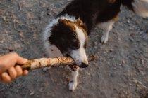 Из выше границы колли собака пытается получить палку от руки человека во время игры на серой дороге — стоковое фото