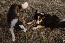 Счастливый пятнистый границы Колли собак грызть палку во время игры вместе на сухой траве в сельской местности в дневное время — стоковое фото