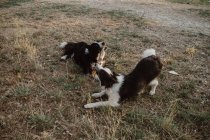 Happy patchy Border Collie dogs gnawing stick while playing together on dry grass in countryside during daytime — Stock Photo