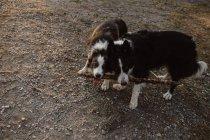 Happy Patchy Border Collie cães roendo pau enquanto brincam juntos na grama seca no campo durante o dia — Fotografia de Stock